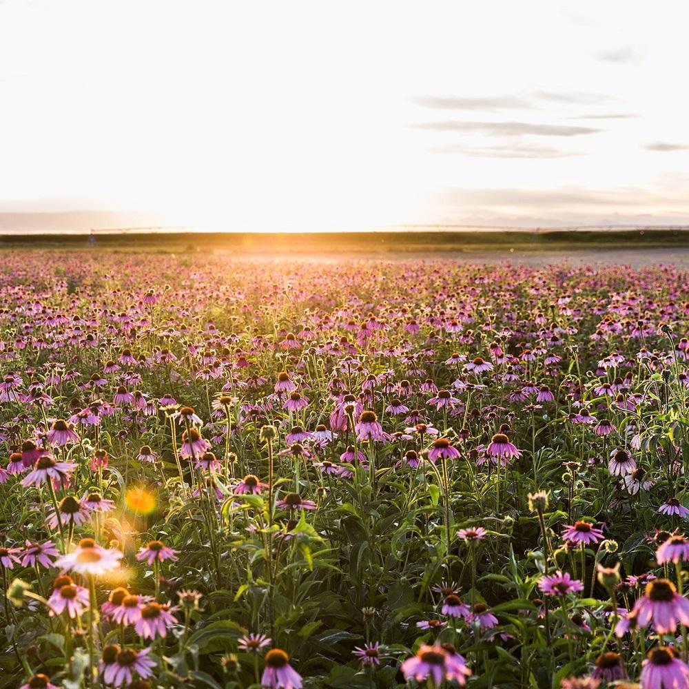 Mit Klick auf dieses Bild sehen Sie das Blumenfeld der Nutrilite Farm in Trout Lake East, Washington USA bei Sonnenuntergang